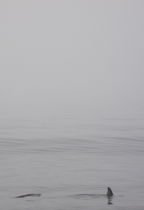 Dolphins in the mist. Like gorillas in the mist but with dolphins...