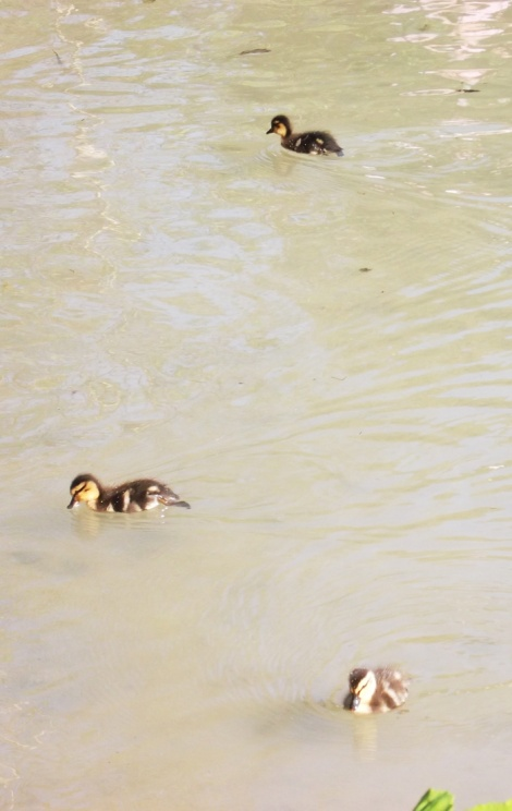Ducklings! N'aww!