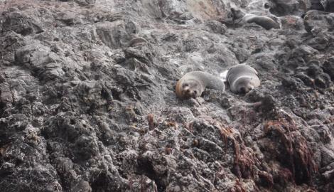New Zealand fur seals just chillin'. Having a gawk at the humans.