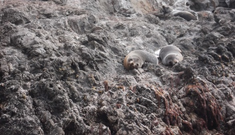 New Zealand fur seals just chillin'. Having a gawk at the humans.