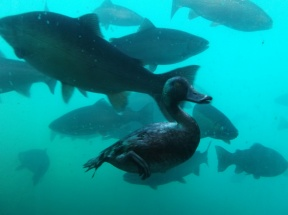 A freakin' diving duck seen from Kjet's underwater observatory.